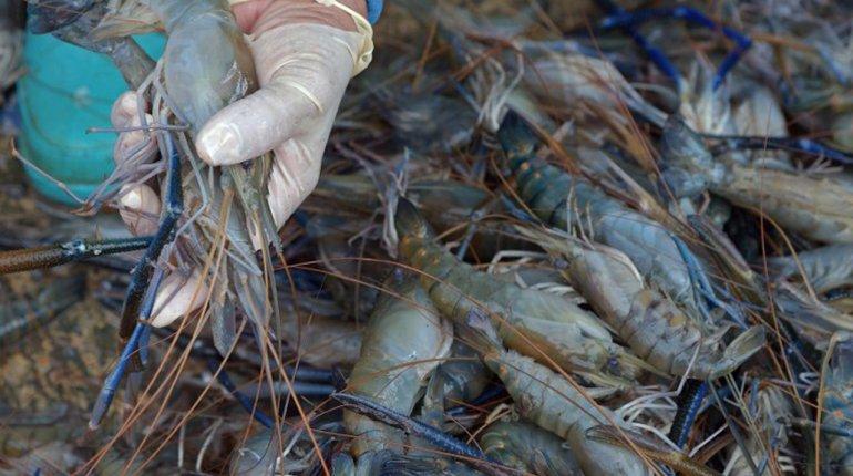 驚現【人工隆體蝦】  漁業廳:別國的